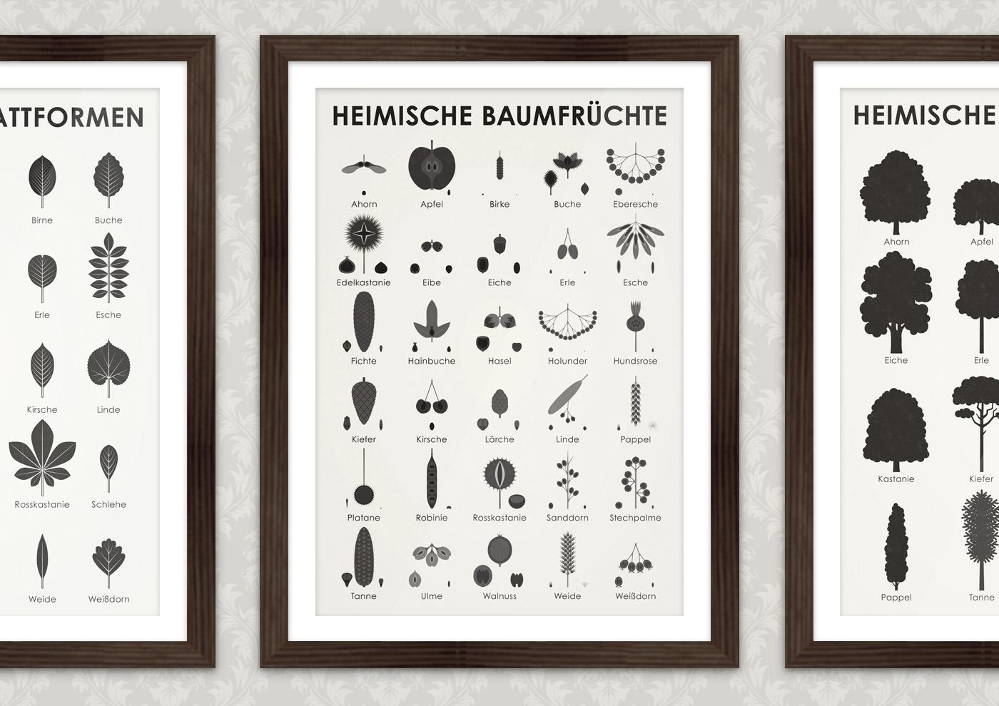Poster mit Infografiken zur Bestimmung von Heimischen Baumfrüchte und Baumzapfen, also Früchte und Zapfen, Samen und Saaten von Bäumen und Sträuchern wie Ahorn mit Nasen, Apfel, Birke mit Flügelnuss, Buche mit Bucheckern, Eberesche, Edelkastanie mit Maronen, Eibe, Eiche mit Eicheln, Erle, Esche, Fichte, Hainbuche, Hasel mit Nüssen, Holunder mit Beeren, Hundsrose mit Hagebutten, Kiefer, Kirsche, Lärche, Linde, Pappel, Platane, Robinie, Rosskastanie, Sanddorn, Stechpalme, Tanne, Ulme, Walnuss, Weide und Weißdorn.