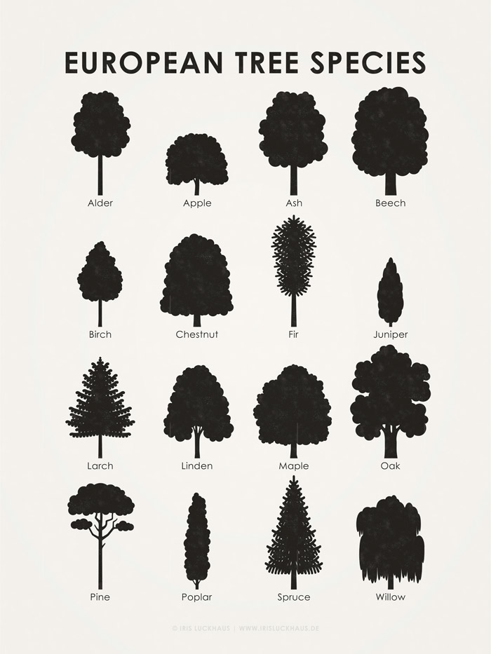 Lernposter, Schautafel oder Infografik zum Bestimmen der tree shapes of 16 common European trees, such as maple, apple, birch, beech, oak, alder, spruce, pine, larch, linden, poplar, chestnut, fir, juniper and willow