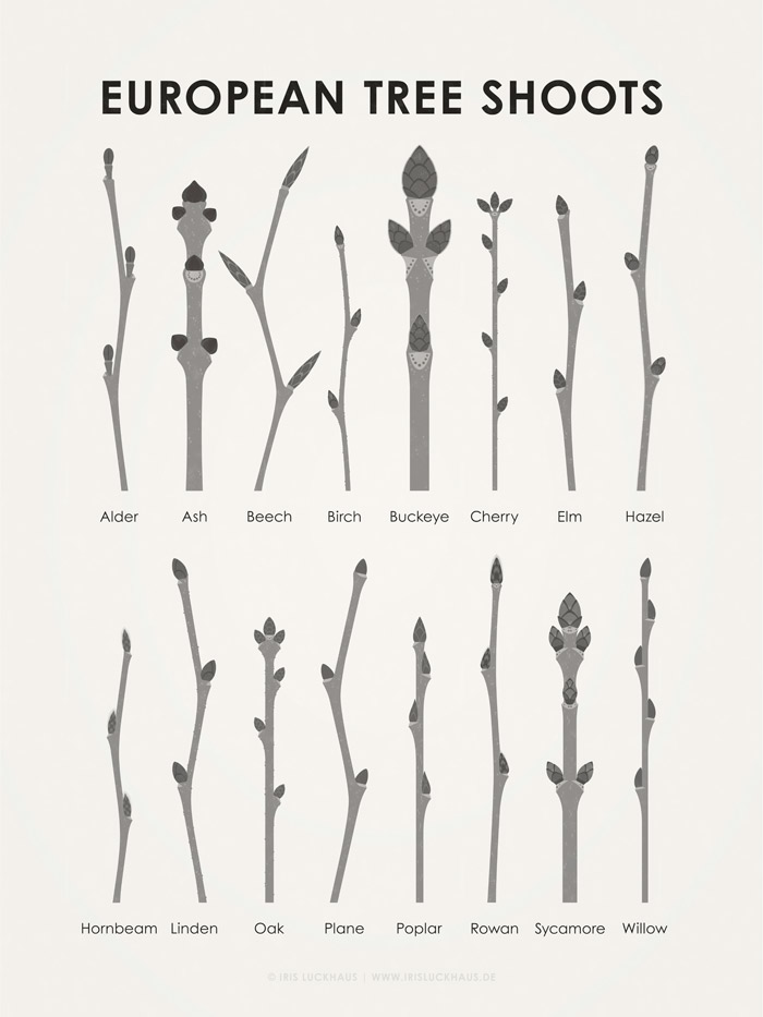 Graphic guide oder information graphics to identify and determine the shoots and buds of trees like apple, birch, beech, ash, buckeye, oak, alder, ash, beech, hazel, cherry, linden, poplar, plane, elm and willow in the winter.