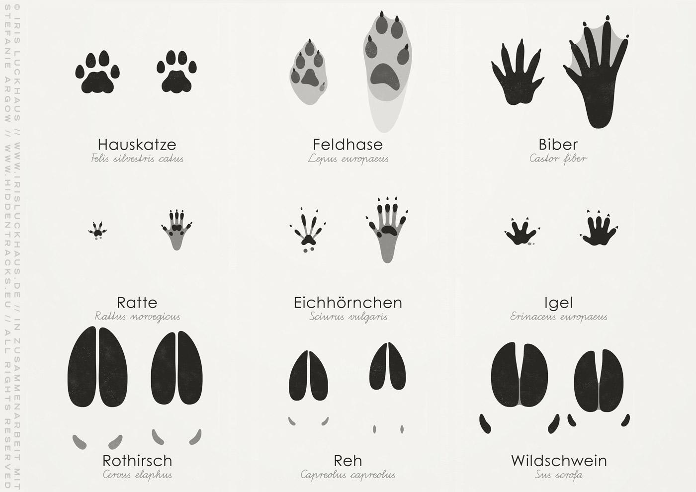 Poster mit Infografik oder Schautafel zum Bestimmen von Tierspuren und Trittsiegeln der Abdrücke von Füßen, Pfoten und Hufen von Biber, Dachs, Eichhörnchen, Hase, Hund, Katze, Igel, Reh, Fuchs, Rothirsch, Marder, Ratte, Waschbär, Wildschwein und Wolf von Iris Luckhaus in Zusammenarbeit mit Stefanie Argow von Hidden Tracks