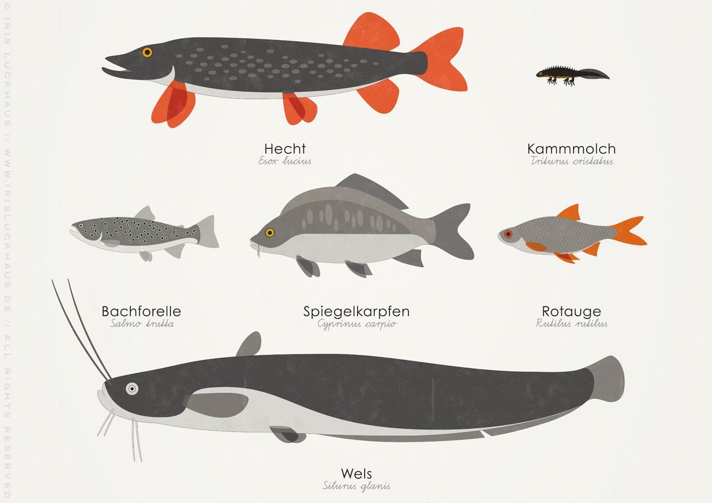Heimische Wassertiere und wie Du sie erkennst mit Form, Zeichnung und Habitus von Salamander, Grasfrosch, Laubfrosch, Gelbbauchunke, Hecht, Kammmolch, Bachforelle, Spiegelkarpfen, Rotauge, Wels, Flusskrebs, Sumpfschildkröte, Ringelnatter und Aal; Fische, Reptilien und Amphibien, an und im Wasser