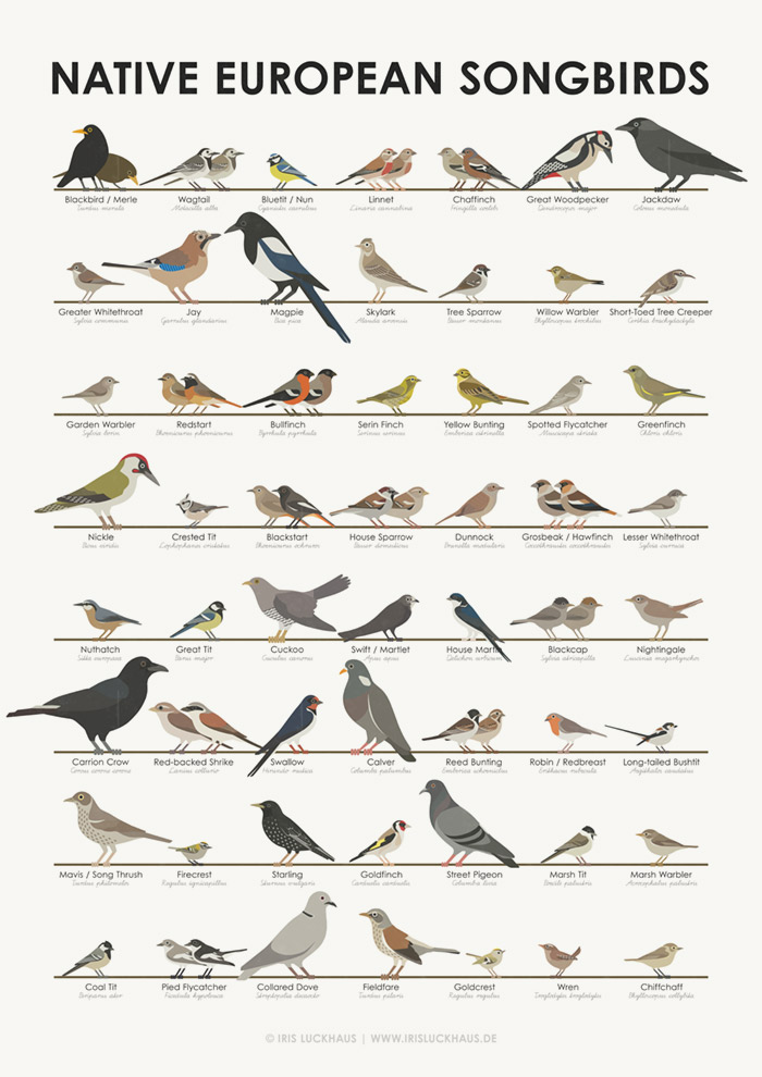 Infographic, wall chart or learning poster, you can identify songbirds such as blackbird / merle, wagtail, blue tit / nun, linnet / flax finch, chaffinch, great spotted woodpecker, jackdaw, greater whitethroat, jay, magpie, skylark, tree sparrow / field sparrow, willow warbler, short-toed tree creeper, garden warbler, redstart, bullfinch / red warbler, serin finch, yellow bunting / goldhammer, spotted flycatcher, greenfinch, nickle / green woodpecker, crested tit, blackstart / black redstart, house sparrow, dunnock, grosbeak / hawfinch, lesser whitethroat, nuthatch, great tit, cuckoo, swift / martlet, house martin, blackcap / blackjack, nightingale, carrion crow, red-backed shrike / red-backed killer, swallow, calver, reed bunting / reed sparrow, robin / redthroat, long-tailed bushtit / tailed tit, mavis / song thrush / filed thrush, firecrest, starling, goldfinch, street pigeon, marsh tit, marsh warbler, coal tit, pied flycatcher, collared dove / turkey dove, fieldfare / field thrush, goldcrest, wren and chiffchaff from the families of sparrows, tits, woodpeckers, finches, jays, buntings, warblers, thrushes, treecreepers, larks, flycatchers, redstarts and pigeons by Iris Luckhaus